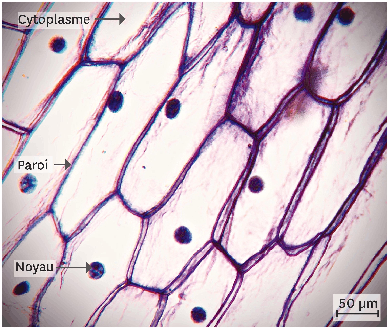<stamp theme='svt-green1'>Doc. 4</stamp> Des cellules d'épiderme d'oignon observées au microscope optique.