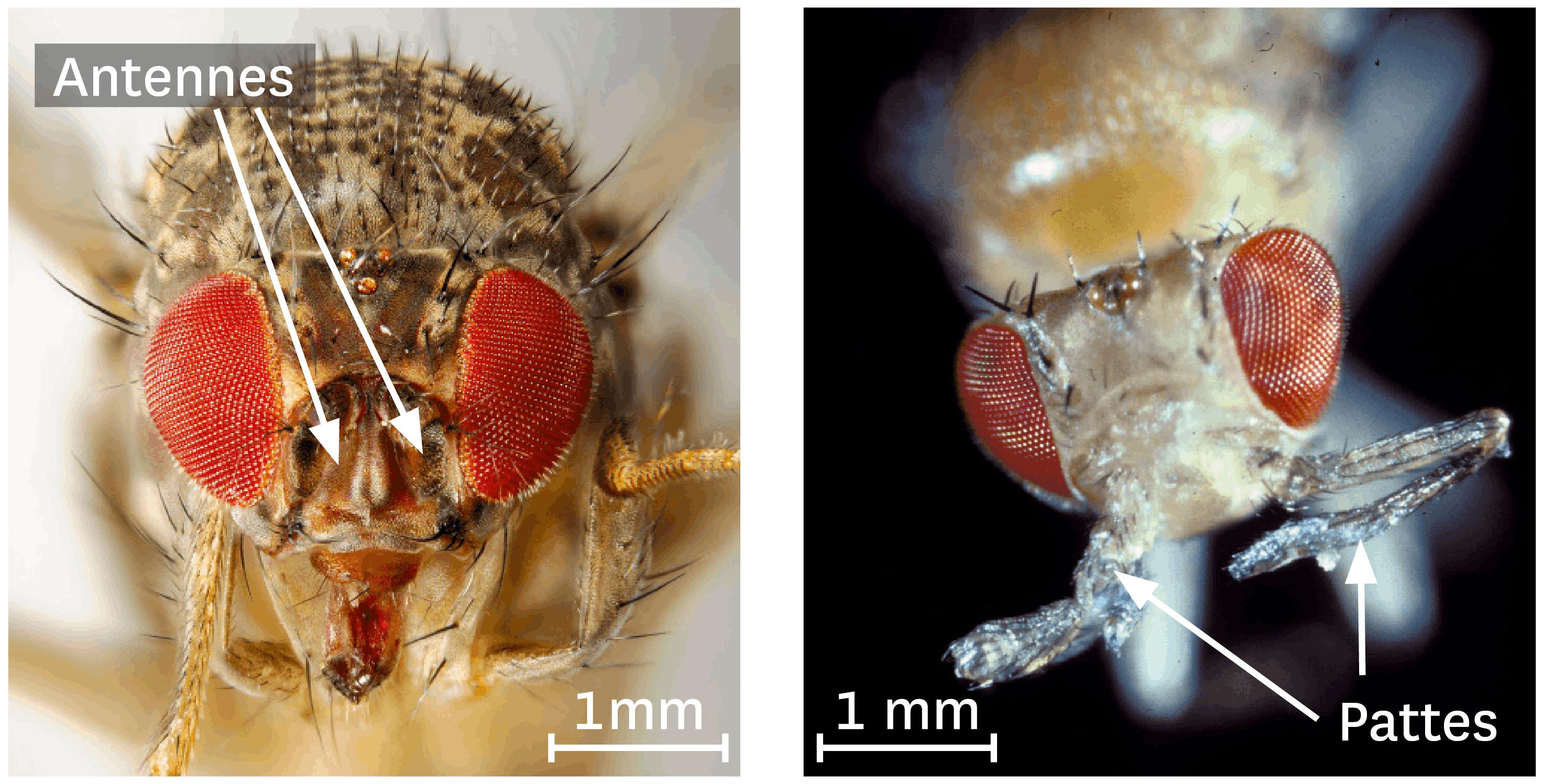 <stamp theme='svt-green1'>Doc. 5</stamp> Observation au microscope optique à balayage d'une drosophile normale et d'une drosophile portant l'allèle mutant du gène Antennapedia.