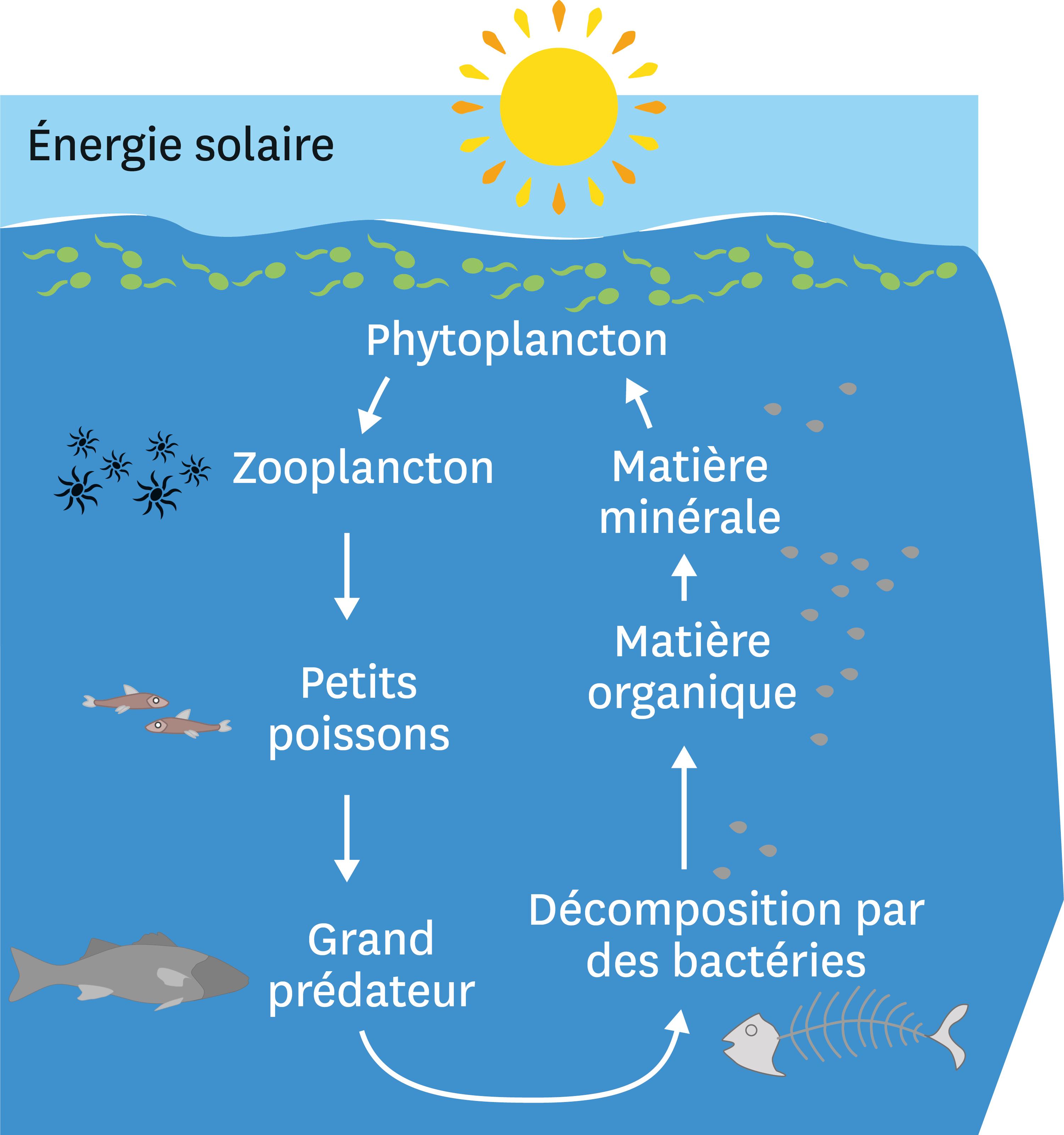 <stamp theme='svt-green1'>Doc. 2</stamp> Le fonctionnement simplifié de l'écosystème océanique.