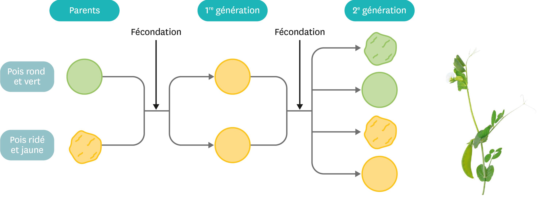 <stamp theme='svt-green1'>Doc. 4</stamp> L'expérience de croisement réalisée par Gregor Mendel sur les formes et les couleurs des pois.