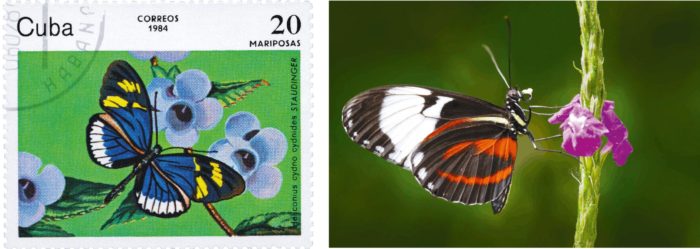 <stamp theme='svt-green1'>Doc. 1</stamp> Un timbre et un individu de l'espèce Heliconius cydno.