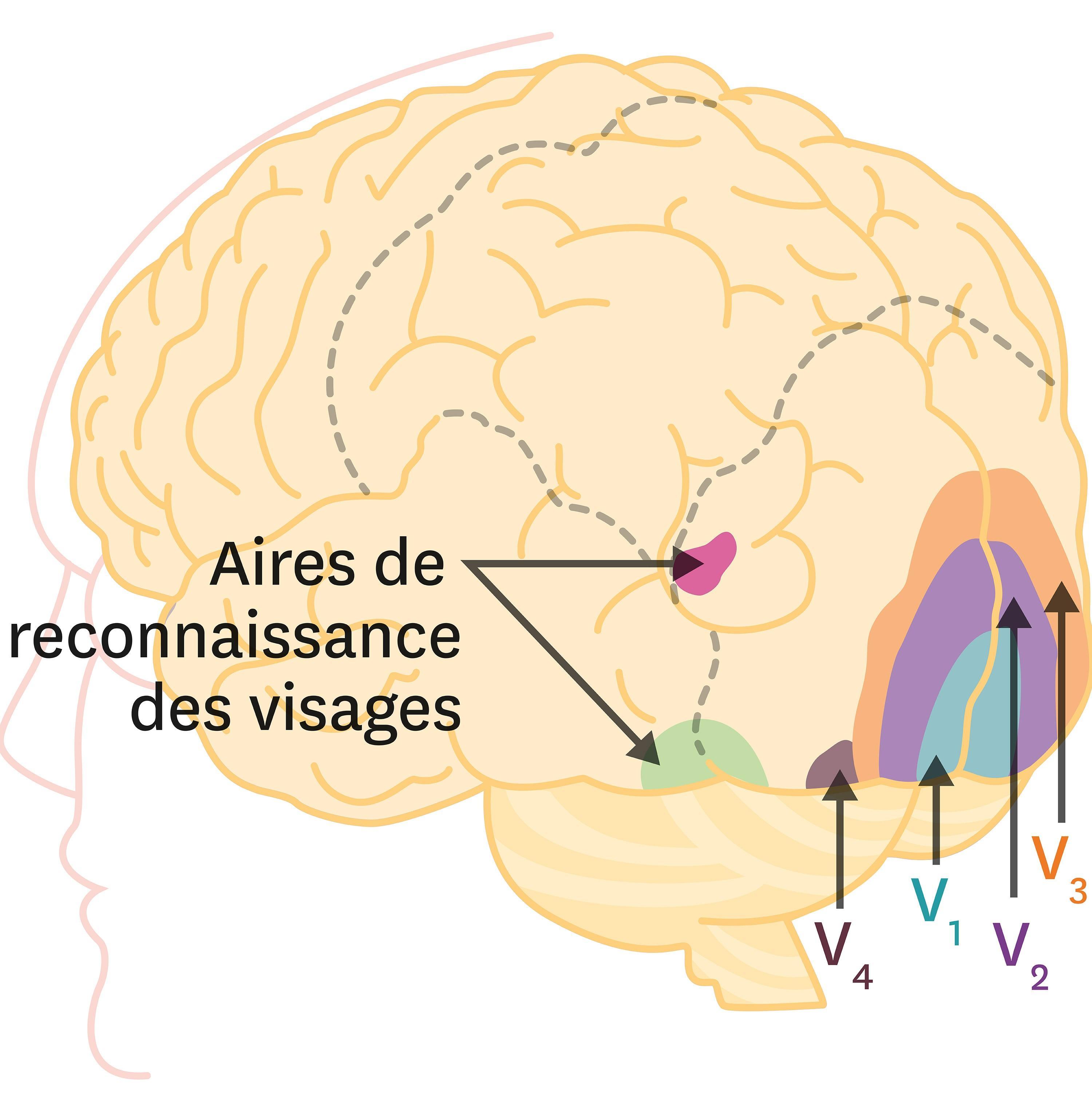 <stamp theme='svt-green1'>Doc. 3</stamp> Les zones d'activation du cerveau lors de stimulations visuelles.