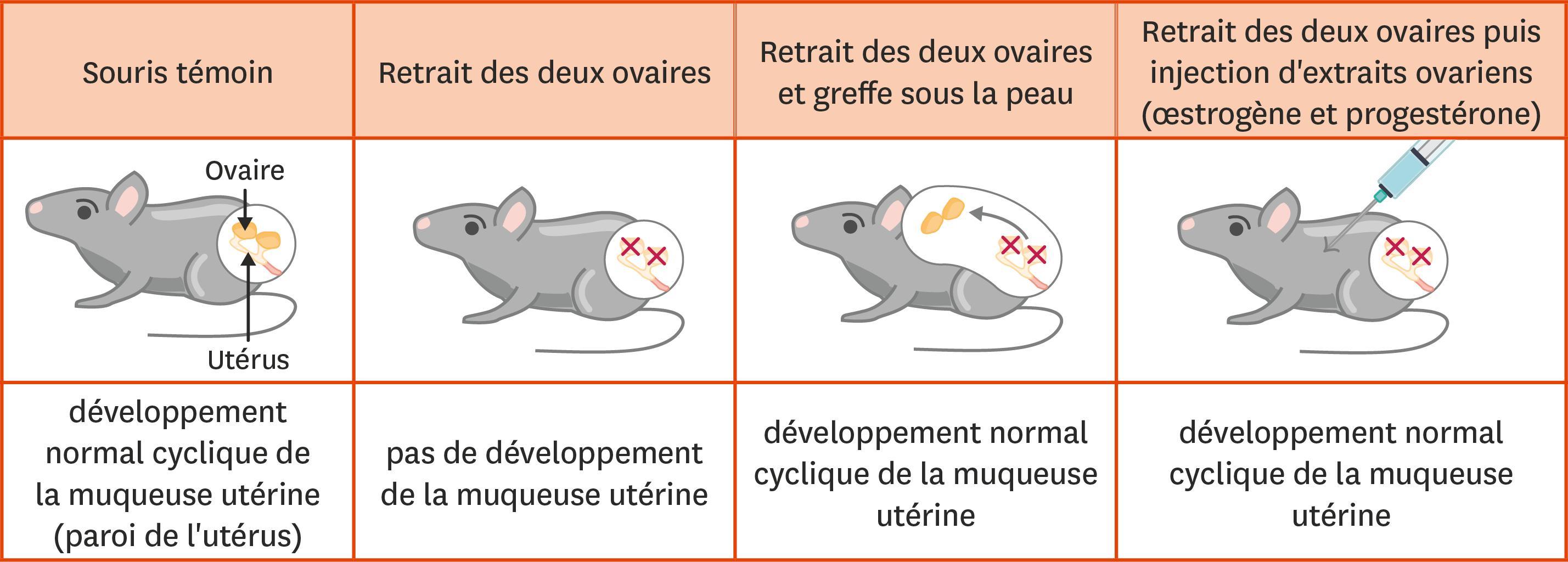 <stamp theme='svt-green1'>Doc. 2</stamp> Des expériences sur le contrôle du fonctionnement de l'appareil génital chez la souris.