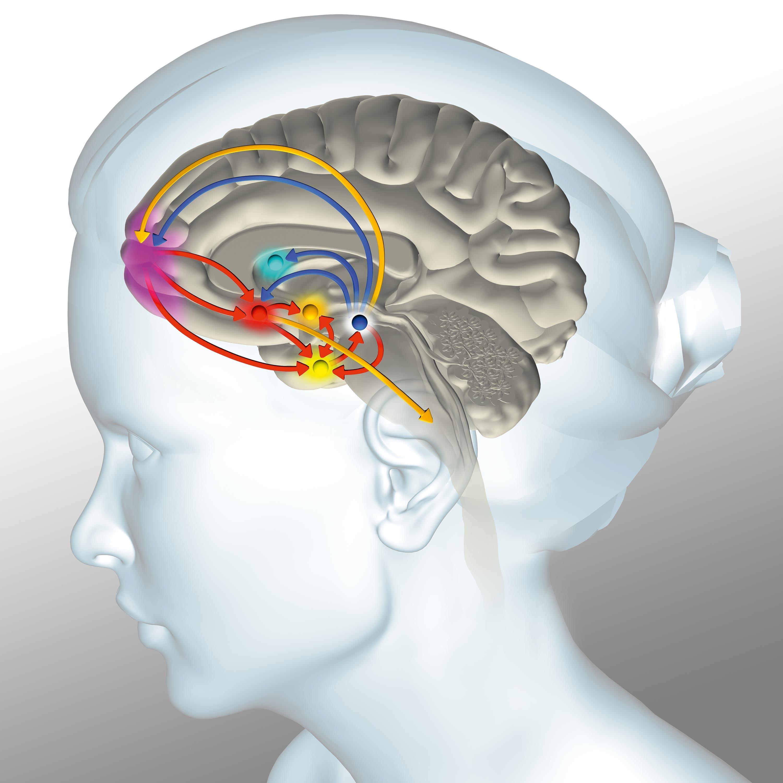 <stamp theme='svt-green1'>Doc. 7</stamp> Les aires cérébrales du « circuit de la récompense ».