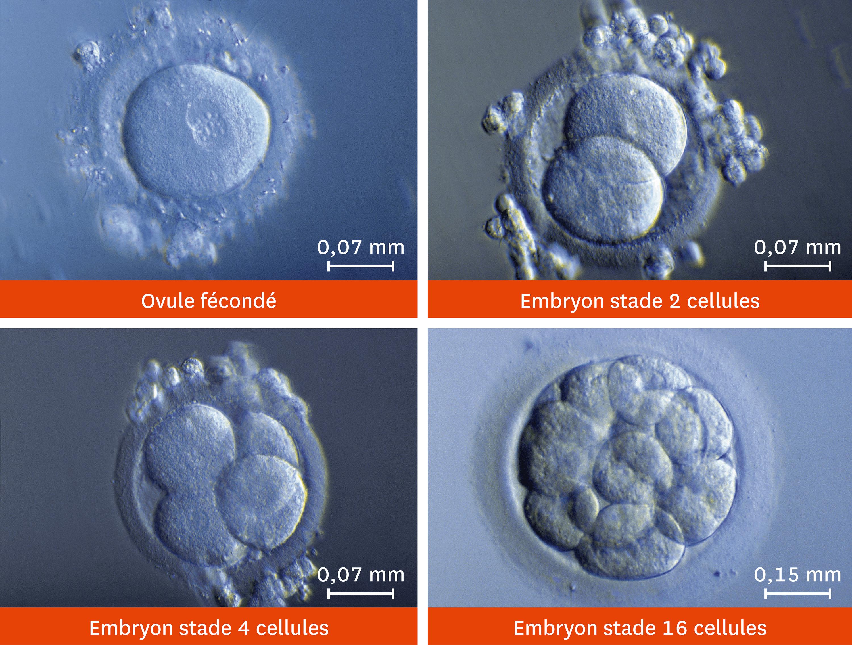 <stamp theme='svt-green1'>Doc. 2</stamp> Les premiers stades du développement d'un embryon vus au microscope optique.
