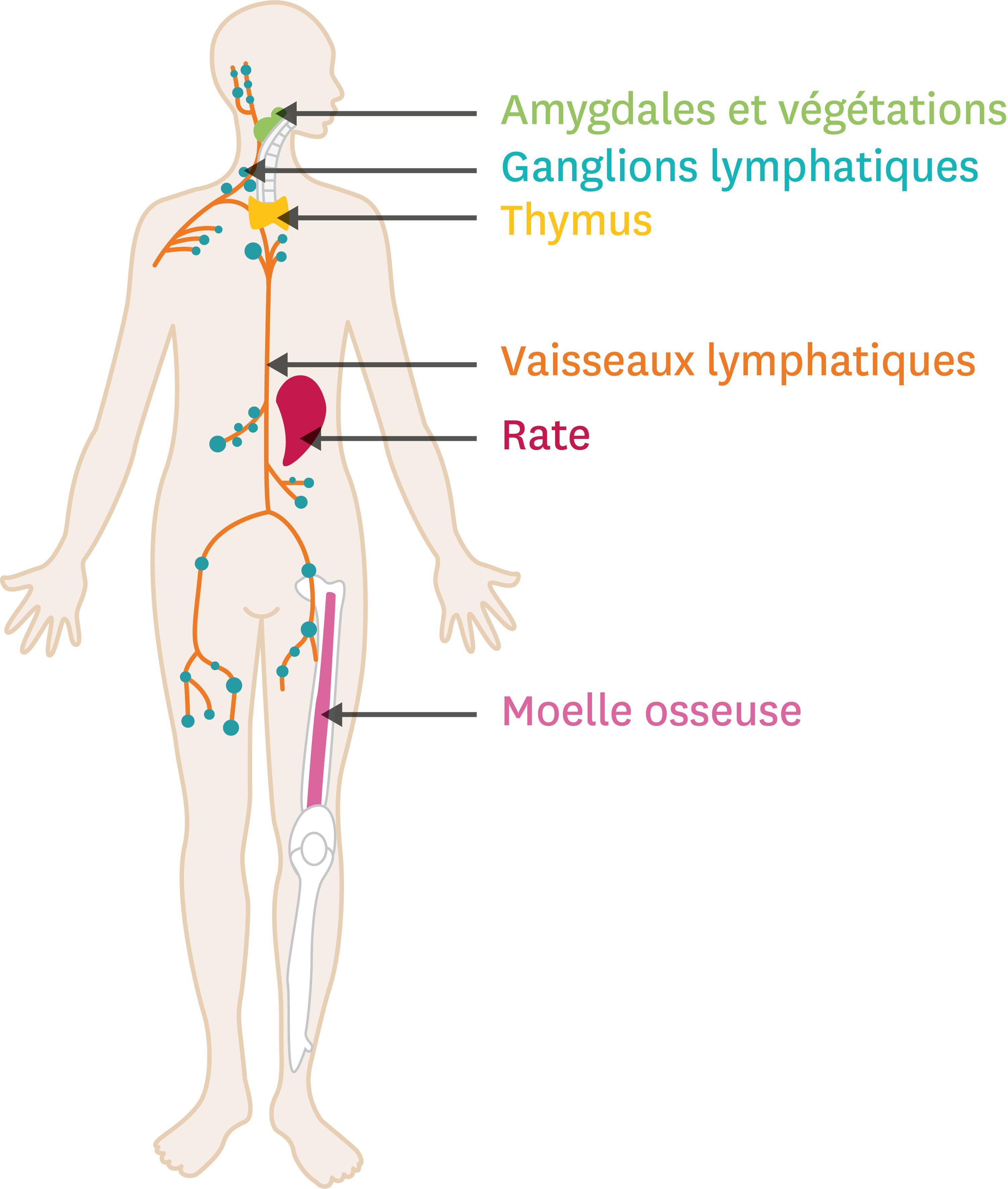<stamp theme='svt-green1'>Doc. 6</stamp> La localisation des organes du système immunitaire.
