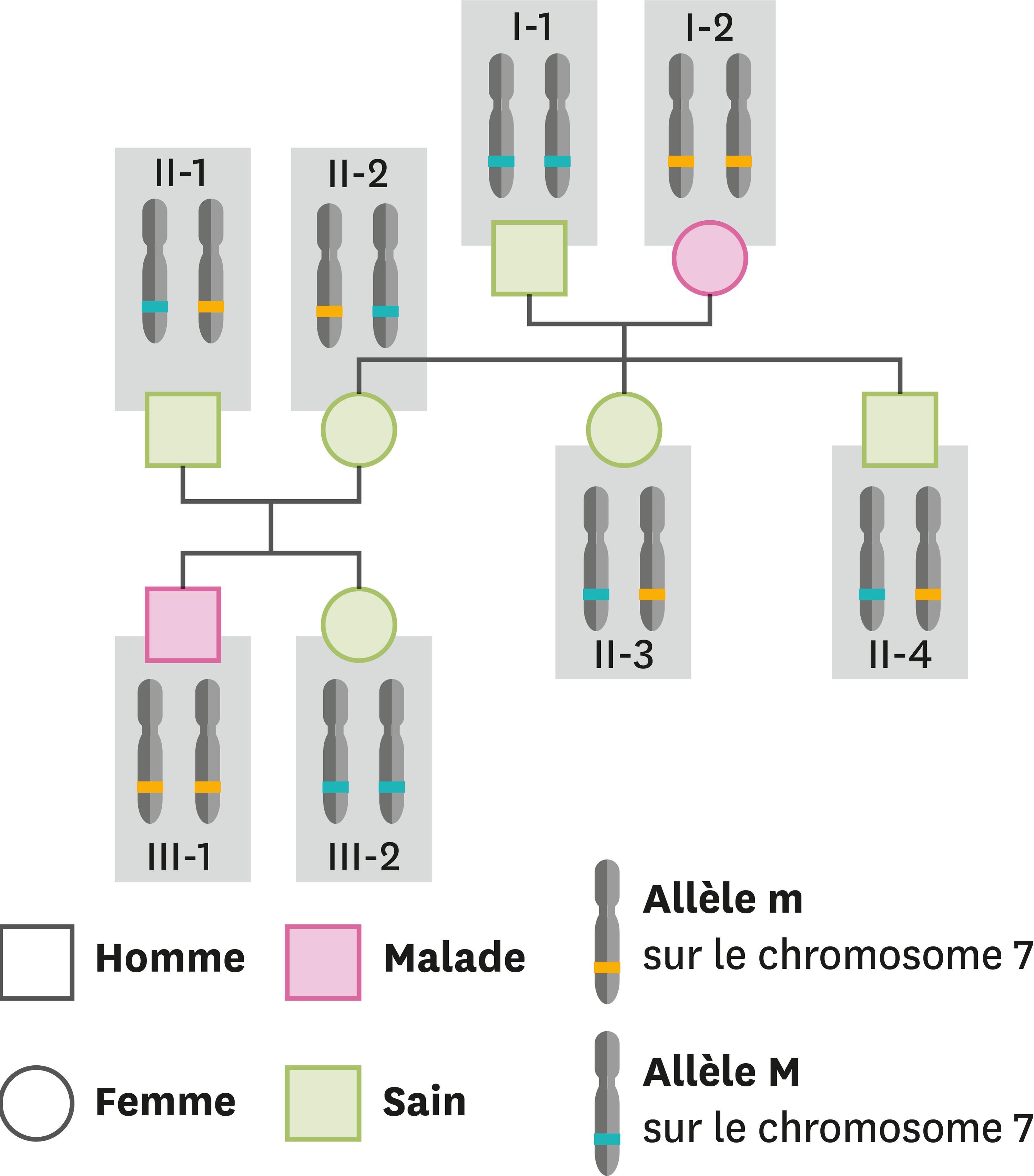 <stamp theme='svt-green1'>Doc. 4</stamp> Les allèles présents et les caractères correspondants dans une famille dont certains membres ont la mucoviscidose.