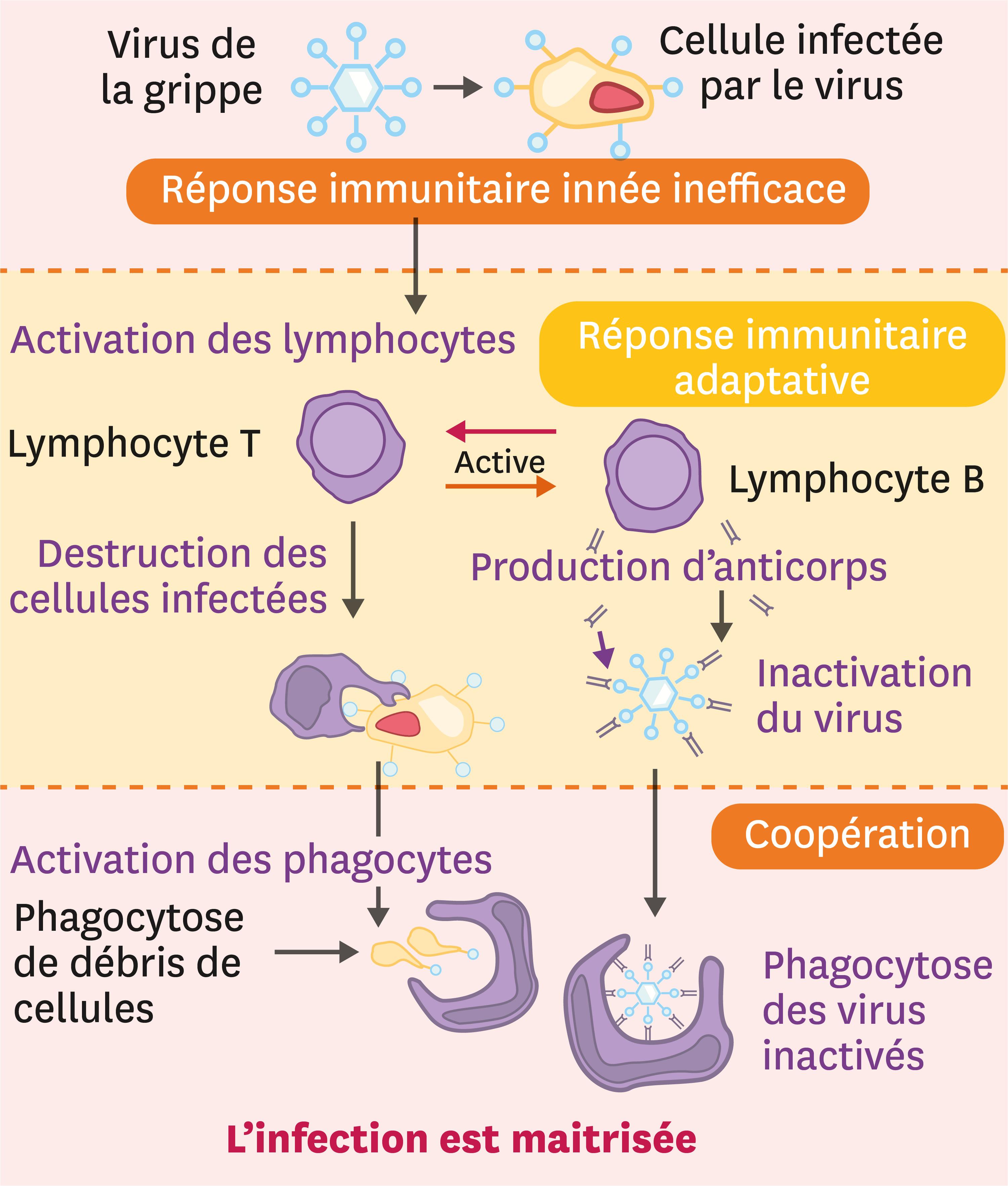 <stamp theme='svt-green1'>Doc. 5</stamp> La coopération entre les acteurs du système immunitaire.