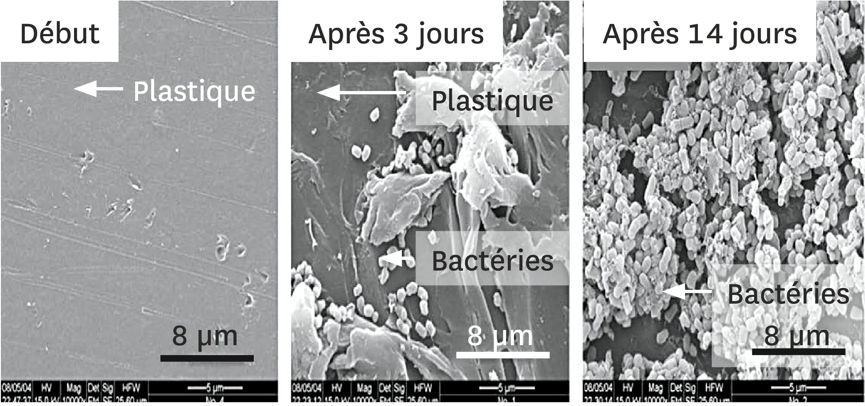 <stamp theme='svt-green1'>Doc. 2</stamp> Le développement de la bactérie Rhodococcus ruber sur la surface du plastique, observé au microscope électronique à balayage.