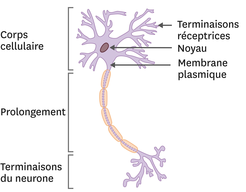 <stamp theme='svt-green1'>Doc. 4</stamp> La morphologie d'un neurone.
