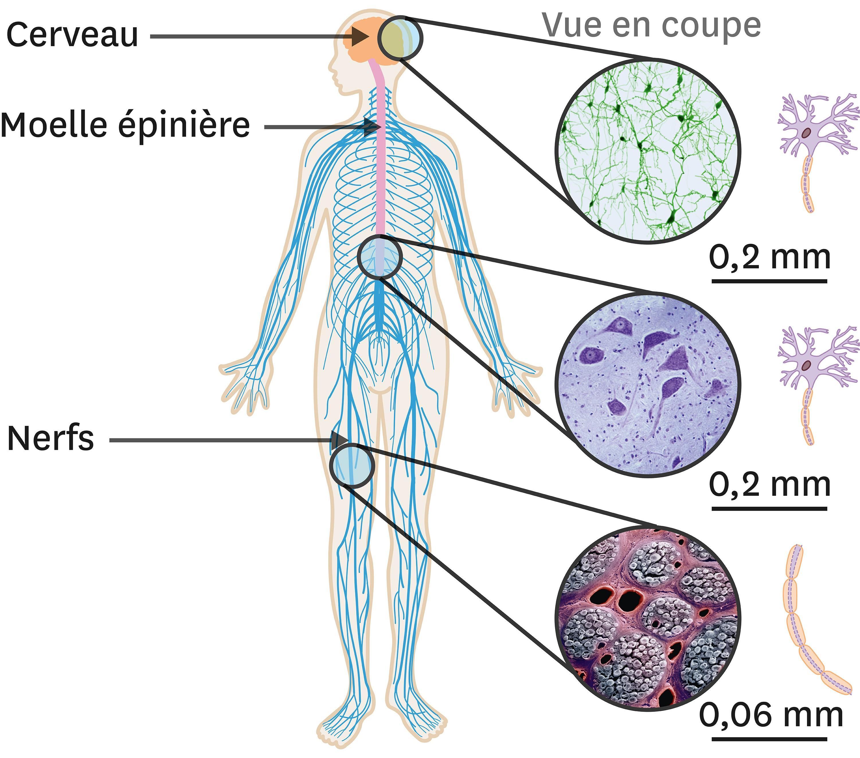 <stamp theme='svt-green1'>Doc. 3</stamp> Les cellules nerveuses dans l'organisme.