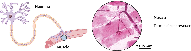 <stamp theme='svt-green1'>Doc. 7</stamp> Une jonction neuro-musculaire à différentes échelles.