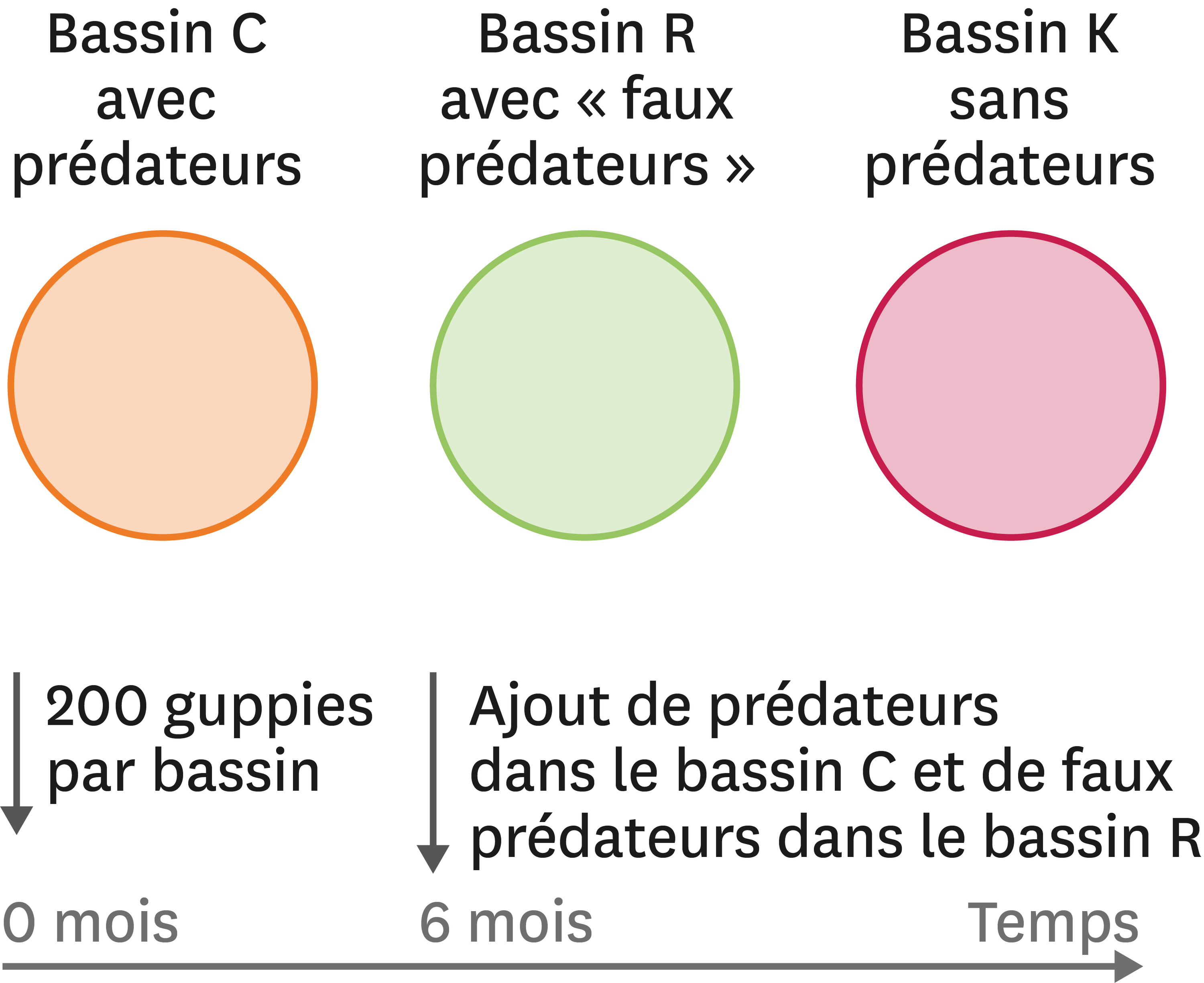 <stamp theme='svt-green1'>Doc. 2</stamp> Une expérience avec des bassins artificiels pour tester l'effet de la prédation sur les couleurs des guppies mâles.