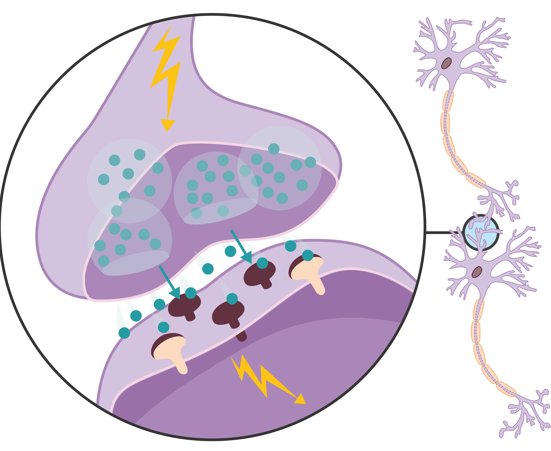 <stamp theme='svt-green1'>Doc. 2</stamp> Une synapse et la transmission du message entre deux cellules nerveuses.