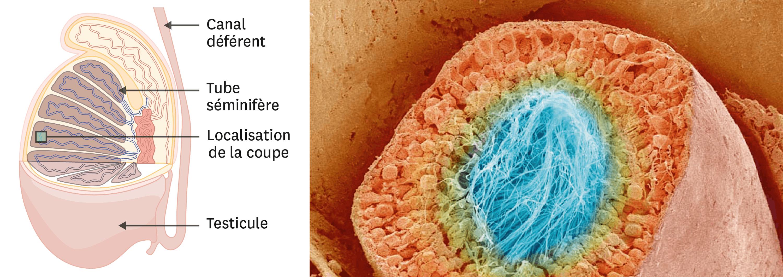 <stamp theme='svt-green1'>Doc. 4</stamp> Une coupe transversale de tube séminifère observée au microscope électronique à balayage (image colorisée).