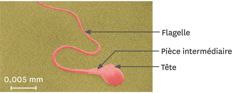 <stamp theme='svt-green1'>Doc. 5</stamp> Un spermatozoïde observé au microscope électronique à balayage (image colorisée).