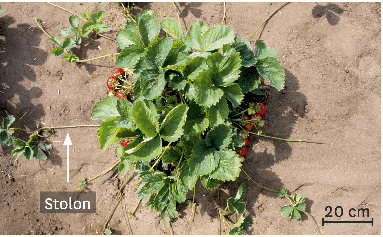 <stamp theme='svt-green1'>Doc. 4</stamp> Marcottage naturel de fraisiers à partir de stolons.