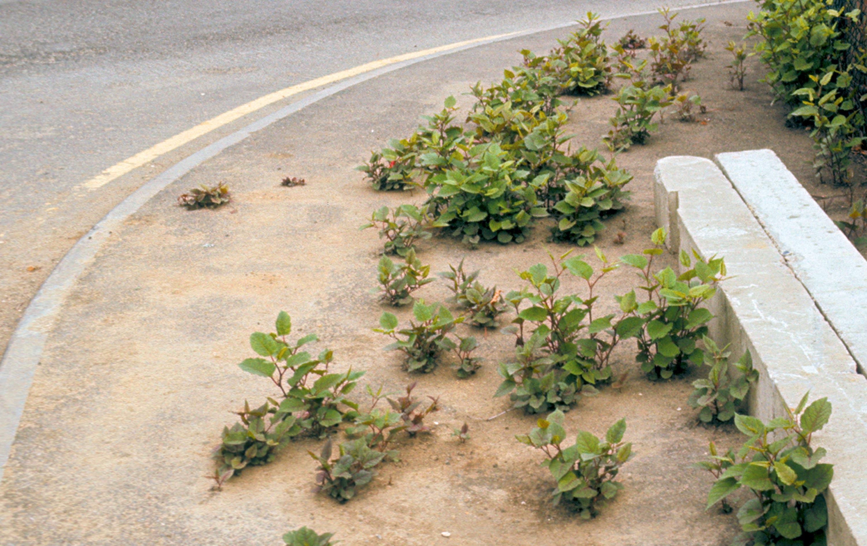 <stamp theme='svt-green1'>Doc. 2</stamp> De jeunes plants de Renouée du Japon traversant le macadam.