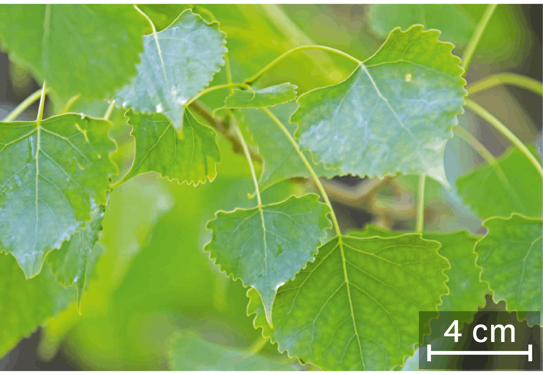 <stamp theme='svt-green1'>Doc. 4</stamp> Des feuilles de peupliers.