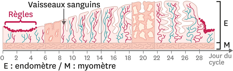 <stamp theme='svt-green1'>Doc. 1</stamp> L'évolution de la muqueuse utérine au cours du cycle féminin.