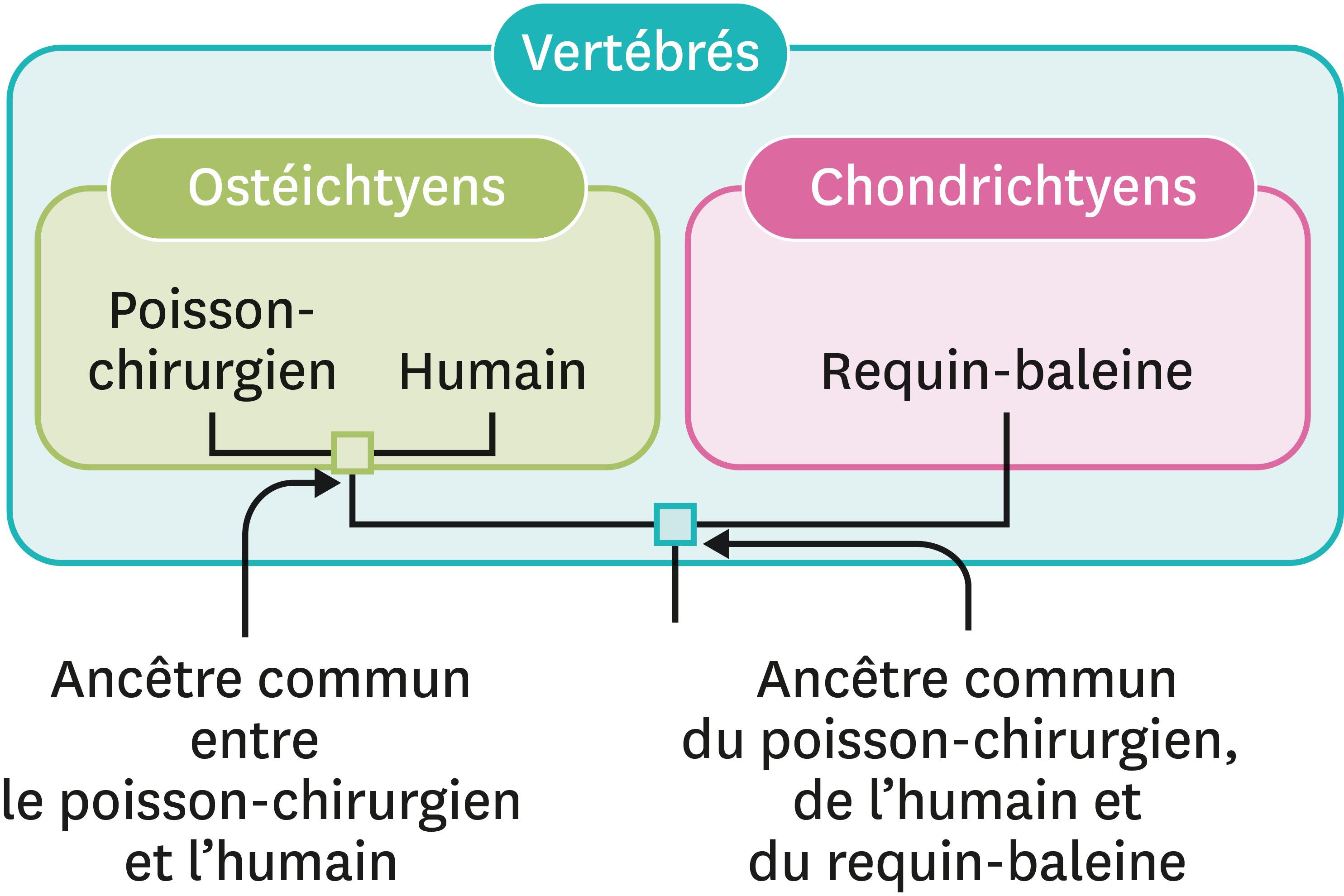 <stamp theme='svt-green1'>Doc. 6</stamp> Le passage des groupes emboités aux arbres de parenté.