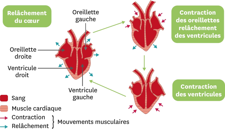 <stamp theme='svt-green1'>Doc. 2</stamp> La circulation du sang dans le coeur humain.