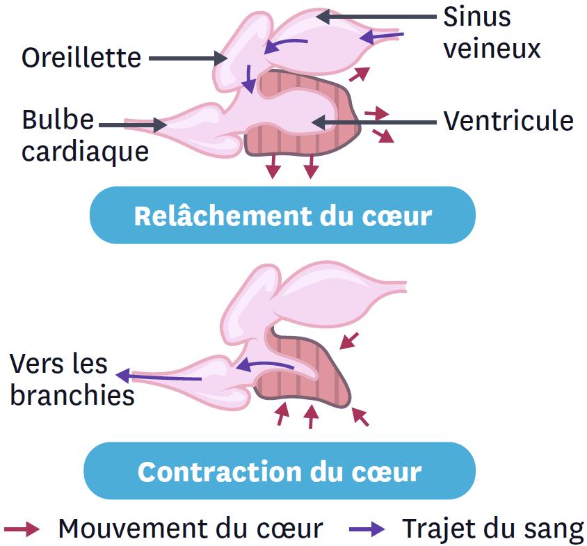 <stamp theme='svt-green1'>Doc. 6</stamp> Les mouvements du cœur du poisson.