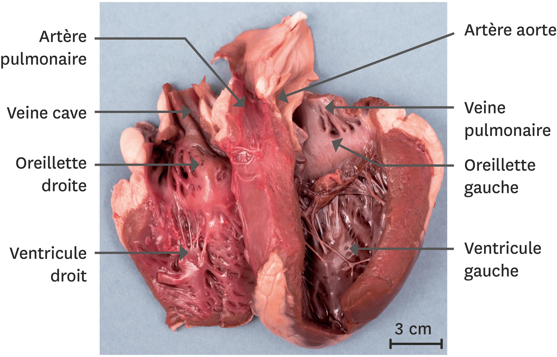 <stamp theme='svt-green1'>Doc. 1</stamp> Dissection d'un coeur de mouton.