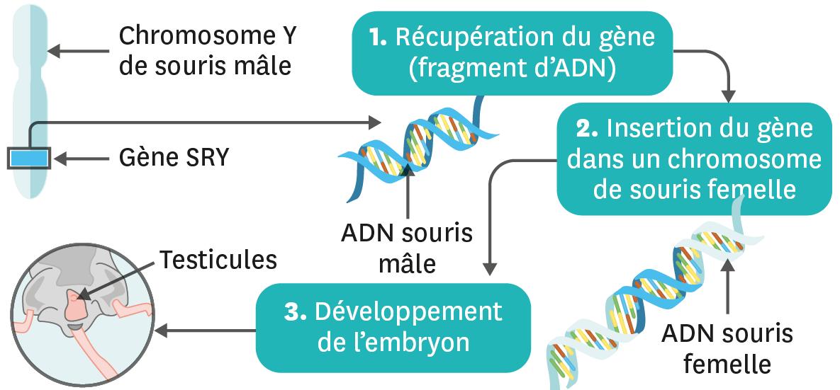 <stamp theme='svt-green1'>Doc. 6</stamp> Expérience de transgenèse avec le gène SRY.
