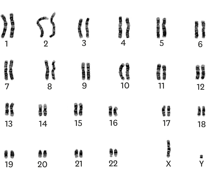 <stamp theme='svt-green1'>Doc. 4</stamp> Le caryotype d'un zèbre mâle de Grévy.