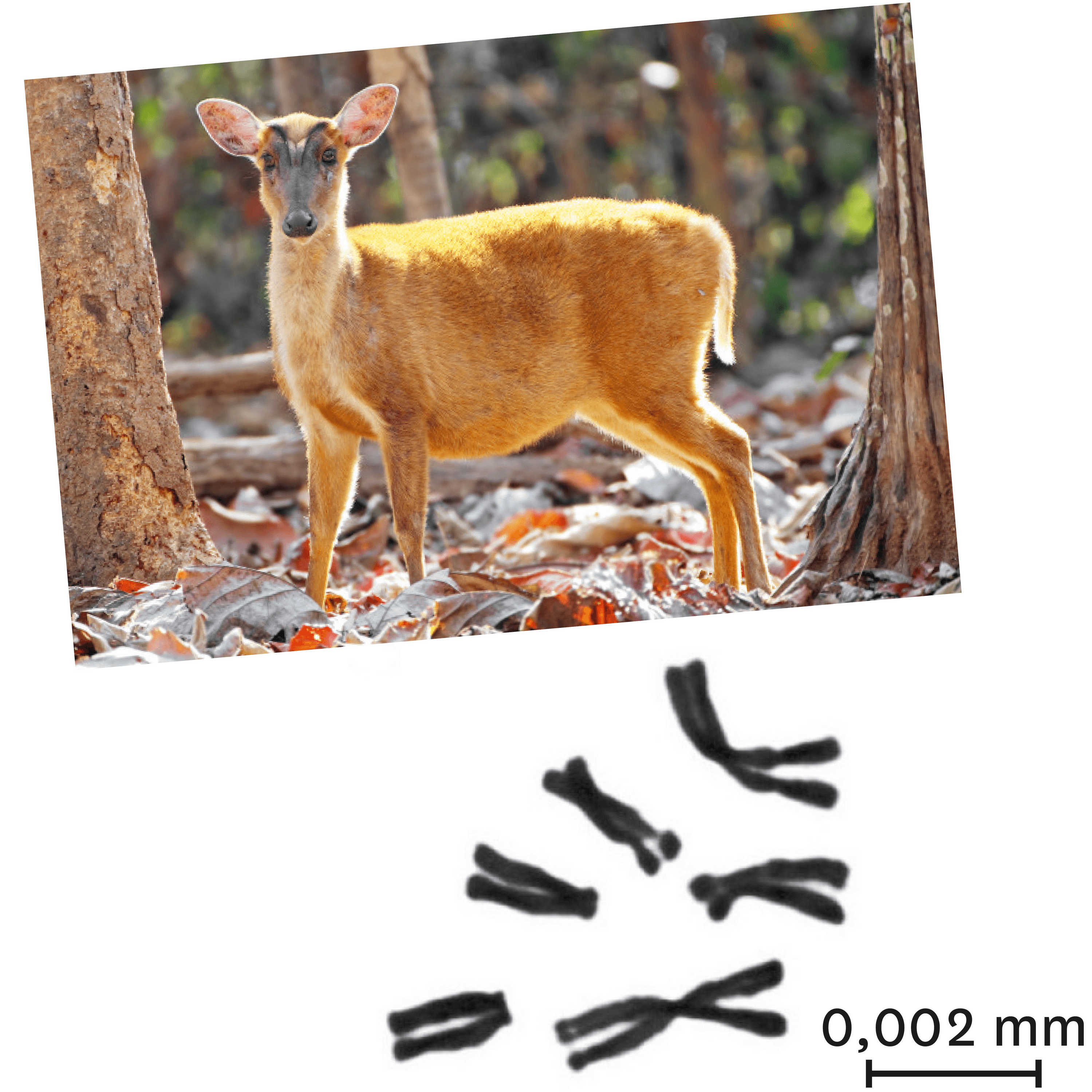 <stamp theme='svt-green1'>Doc. 5</stamp> Le caryotype d'une femelle muntjac.