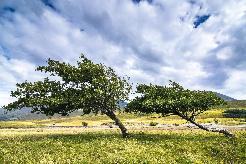<stamp theme='svt-green1'>Doc. 1</stamp> Des arbres d'une région ventée.