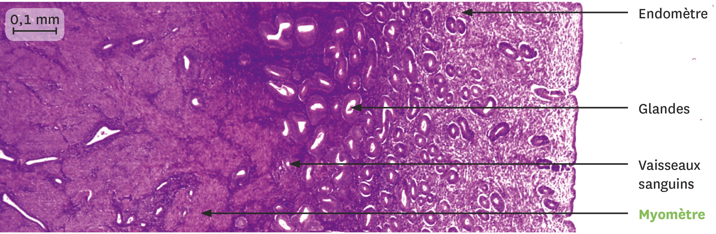 <stamp theme='svt-green1'>Doc. 3</stamp> Une coupe de la muqueuse utérine juste après les règles observée au microscope optique.