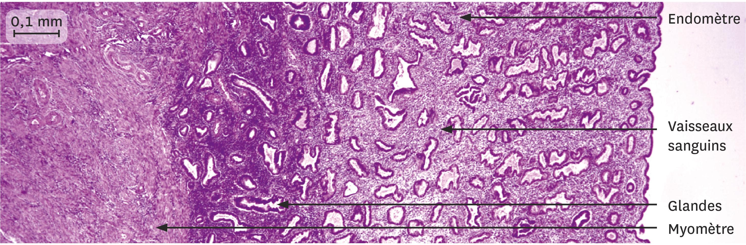 <stamp theme='svt-green1'>Doc. 4</stamp> Une coupe de la muqueuse utérine 10 jours après les règles observée au microscope optique.