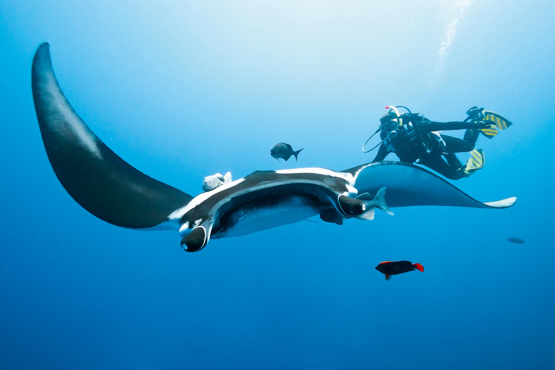 <stamp theme='svt-green1'>Doc. 1</stamp> Une raie et un humain sous l'eau.