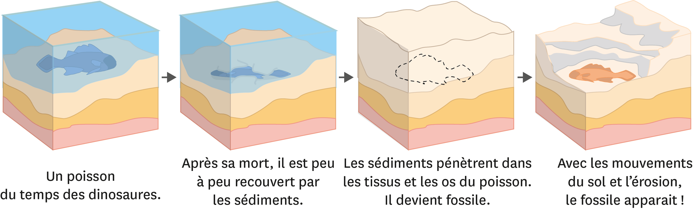 <stamp theme='svt-green1'>Doc. 2</stamp> Les étapes de la formation d'un fossile.
