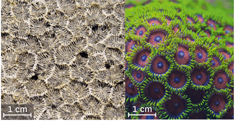 <stamp theme='svt-green1'>Doc. 6</stamp> Un corail fossilisé et actuel.