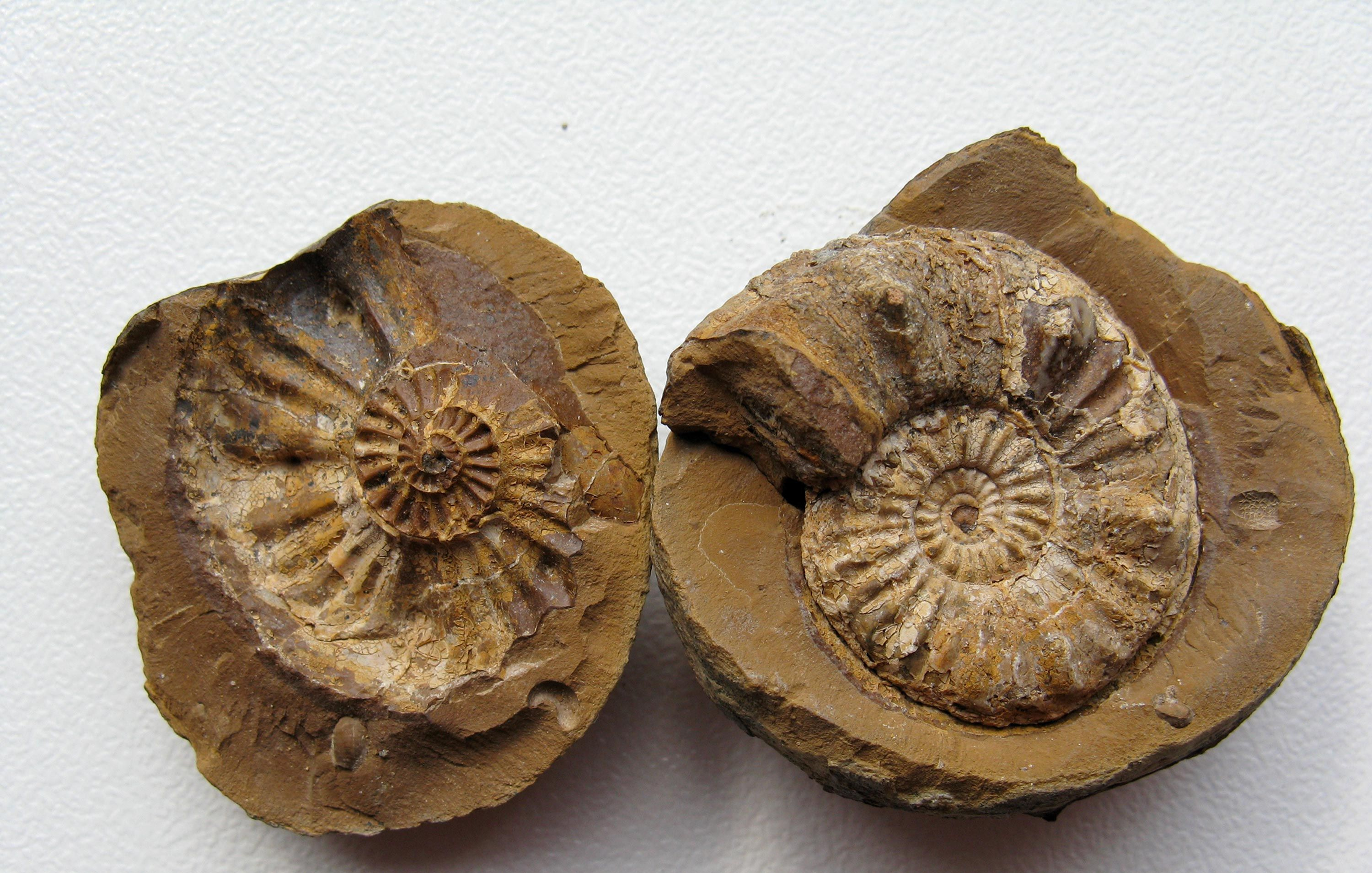 <stamp theme='svt-green1'>Doc. 5</stamp> Un fossile d'ammonite.