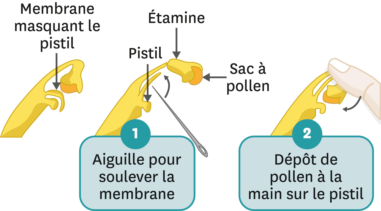 <stamp theme='svt-green1'>Doc. 3</stamp> La pollinisation manuelle de la vanille.