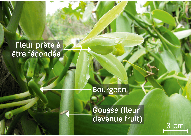 <stamp theme='svt-green1'>Doc. 2</stamp> L'orchidée Vanilla planifolia.