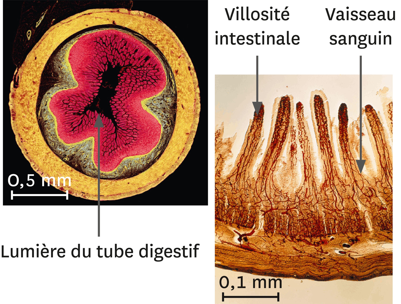 <stamp theme='svt-green1'>Doc. 2</stamp> Une coupe transversale d'intestin grêle (à gauche) et son détail (à droite) au microscope optique (images colorisées).