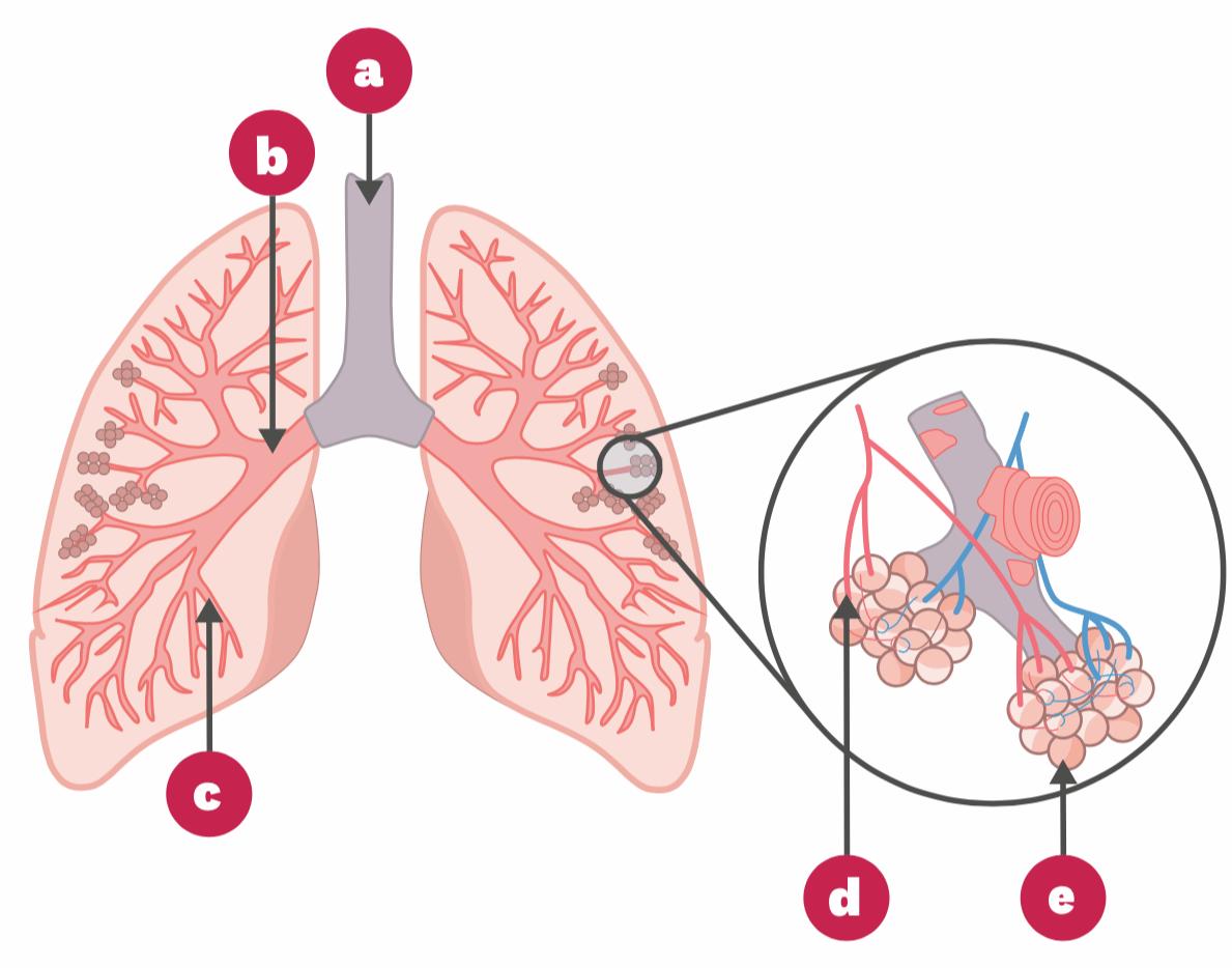 Appareil respiratoire humain