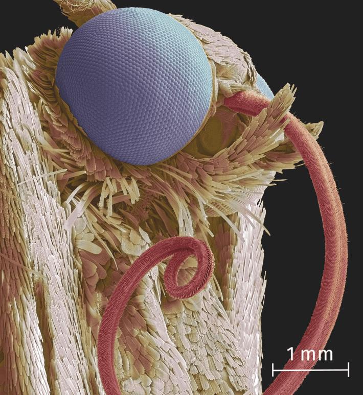 Papillon au microscope