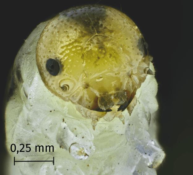 Chenille au microscope