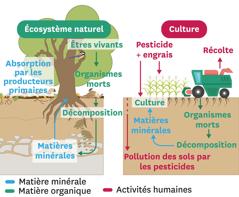 <stamp theme='svt-green1'>Doc. 7</stamp> Comparaison des échanges de matière dans un écosystème naturel et dans une culture.