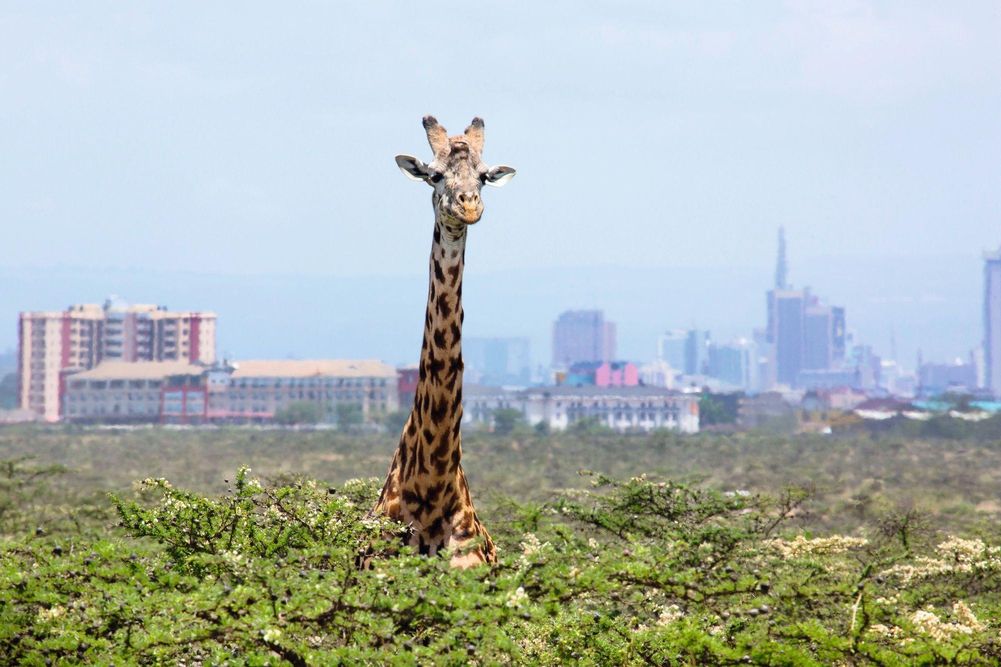 Le parc naturel de Nairobi menacé par l'urbanisation