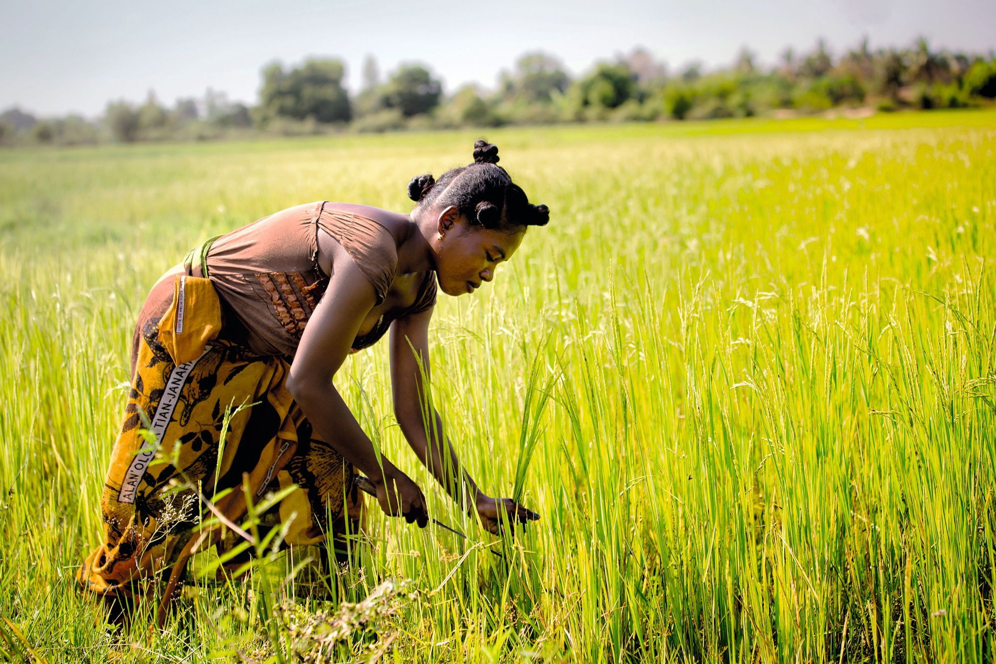 La récolte du riz à Morondava (Madagascar)