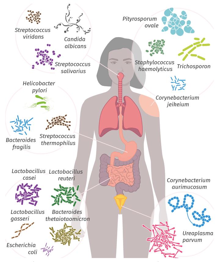 Représentation partielle de la diversité du microbiote humain