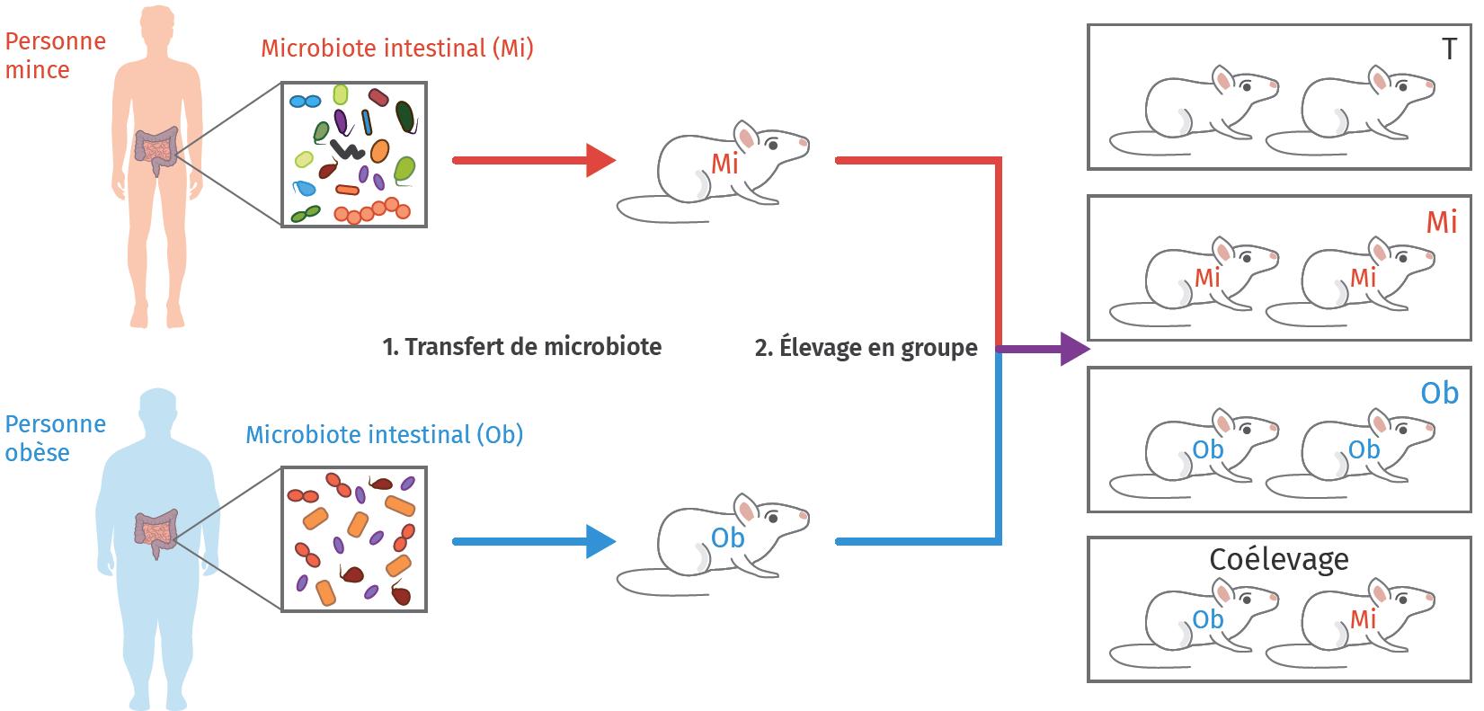 Protocole expérimental d'étude du rôle du microbiote dans la nutrition