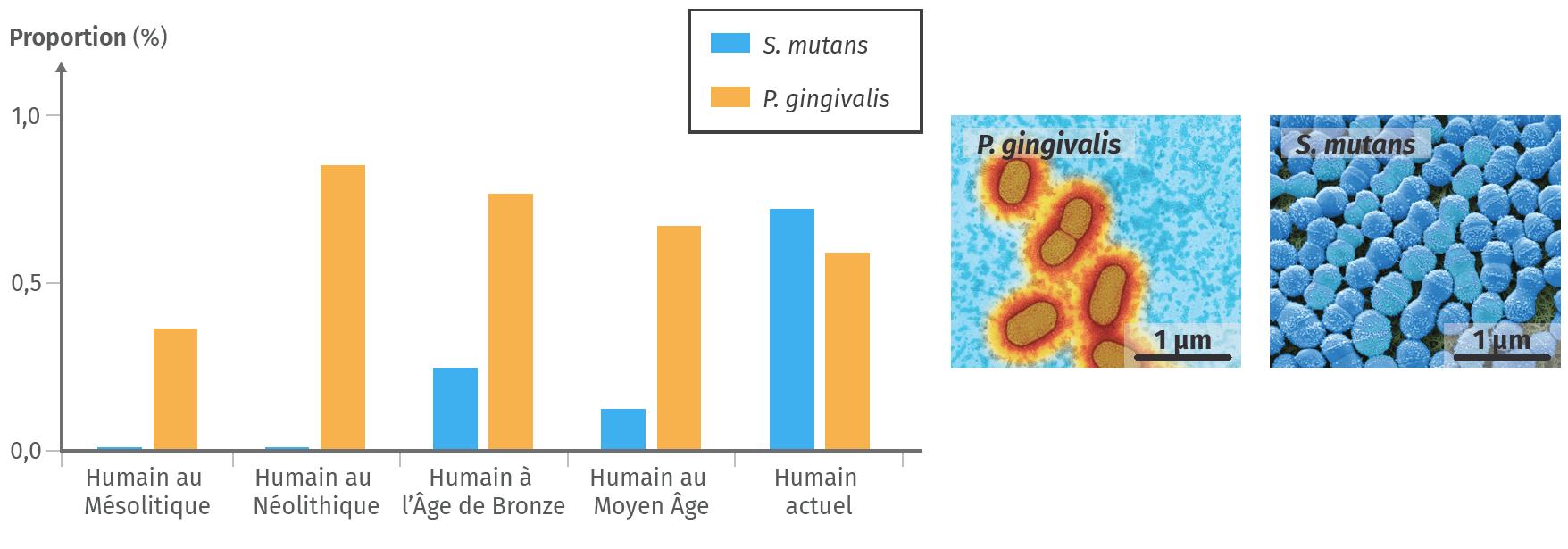 Fréquence de deux bactéries chez des humains à différentes époques.